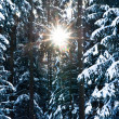 Sun through Winter Trees - Stock Photo