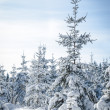 Huge snowy Fir Tree - Stock Photo