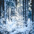 Fir Trees in snowy Forest - Stock Photo