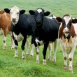 Four Cows in a Row — Stock Photo