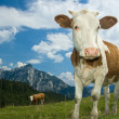 Austrian Cow in the Alps — Lizenzfreies Foto
