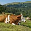 Resting Mottled Cows — Stockfoto