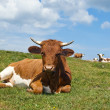 Relaxing Cow in the Pasture — Stockfoto