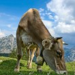 Grazing Cow in the Alps — Stock Photo