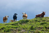 Cows on the Hilltop — Stock Photo