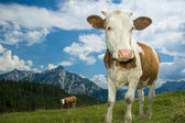 Austrian Cow in the Alps — Stock Photo