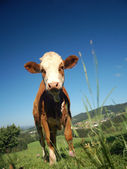 Calf in Austrian Country — Stock Photo