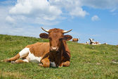 Relaxing Cow in the Pasture — Stock Photo