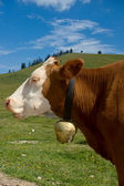 Simmental Cow with Bell — Stock Photo