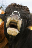 Bull with Nosering — Stock Photo