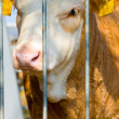 Calf behind Bars — Stock Photo