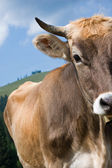 Detail view of a brown cow — Foto Stock