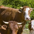 Cow Family — Stock Photo