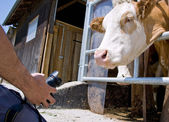 Cow Photographer — Stock Photo