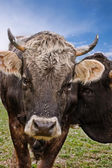 Brown Cow from Frontal — Stock Photo