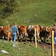 Herding Cows - Stock Photo