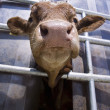 Calf from below — Foto Stock