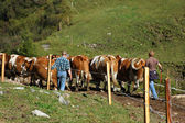 Herding Cows — Stock Photo
