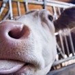 Stock Photo: Licking Cow