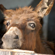 Stock Photo: Donkey look out of a Stable