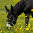 Donkey in a Flower Field — Stock fotografie