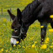 Donkey in a Flower Field — Stock Photo
