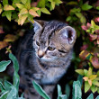 Curious Cat look out of a Bush — ストック写真