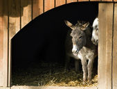 Two Donkeys in the Stable — Stock Photo