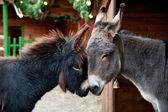 Två åsnor snuggling — Stockfoto