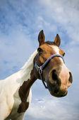 Head of a Quarter Horse — Stock Photo