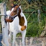 Drinking Horse — Stock Photo