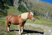 Beautiful Horse in the Alps — Stock Photo