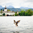 Flying Duck on the Lake — 图库照片