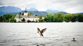 Flying Duck on the Lake — Stock Photo