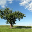 Tree in the Summertime — Stock Photo