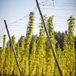 Hop Field in Autumn — Lizenzfreies Foto