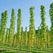 Growing Hop — Stock Photo