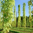 Growing Hop with Sun — Stock Photo