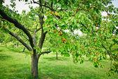 Apricot Trees — Stock Photo