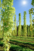 Growing Hop with Sun — Stock Photo