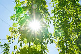 Sun through Hop Branch — Stock Photo