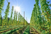Sunshine in the Hop Field — Stock Photo