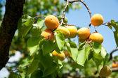 Apricot Tree — Stock Photo