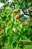Tree full with Apricots — Stock Photo