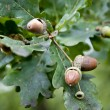Hazelnuts on a Branch — Stock Photo