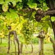 Vineyard with White Grapes — Stock Photo