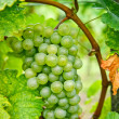 White Grapes — Stock Photo #18704969