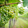Stock Photo: White Grapes in a Vineyard