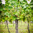 Stock Photo: Vine with white Grapes