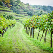 Stock Photo: Wineyard before Harvesting